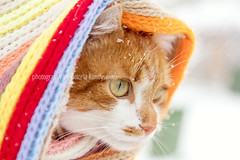 Red and white kitty cat in checkered scarf (victoria.kondysenko) Tags: snow cat snowfall cold soft mammal white expression red cloth seasonal yellow adult fur ears freeze ginger orange feline one striped covered walk portrait cute wrapped young face winter snowdrift adorable predator plant burlap hair snowflakes whisker looking furry blanket beautiful background nature pet pretty nose eye animal
