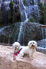 Eli_20160924_Monasterio de Piedra_0015 (Lillibit) Tags: agua aragn dino dogs espaa habanero havanesse kikers monasteriodepiedra roy spain btato design eliz elizana nature water aragon aragn espaa