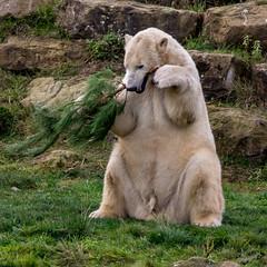 polarbear yorkshirewildlifepark wildlife