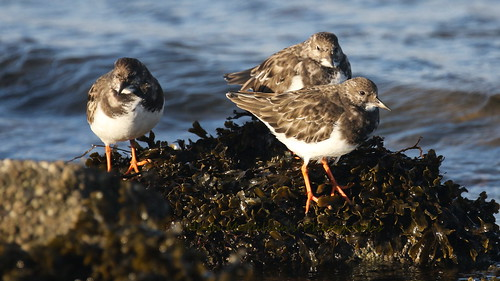 Turnstone at Greenock Scotland.
