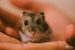 Paulowski I (Pippoloide) Tags: hamster animal mascota pet canon 6d roedor martadiarra