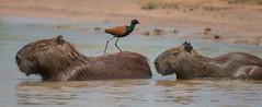 I walk the line (Tim Melling) Tags: capybara wattled jacana pantanal brazil timmelling