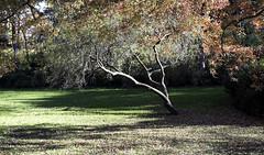 CPTree I (Joe Josephs: 2,861,655 views - thank you) Tags: centralpark joejosephs joejosephsphotography nyc newyorkcity travelphotography landscapephotography landscapes centralparknewyork centralparkfallautumnnewyorkcity trees parks urbanparks fall fallfoliage fallcolors autumn autumninnewyork parkfallautumnfall