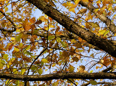 Eiche, persische / Persian oak (Quercus macranthera) (HEN-Magonza) Tags: botanischergartenmainz mainzbotanicalgardens rheinlandpfalz rhinelandpalatinate deutschland germany herbst autumn persischeeiche persianoak quercusmacranthera caucasianoak flora natur nature