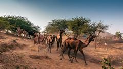 (ayashok photography) Tags: rangderajasthan nikon ayashok ayashokphotography nikond300 nikond700 nikkor24120mmvr rajasthan pushkar camelfair camels market india rajastan rajasthani ayp9553