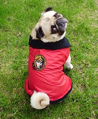 Go Sens Go! (DaPuglet) Tags: pug ottawasenators sens ottawa hockey sports fan dog team nhl jacket coat pets pugs dogs animal animals pet senators