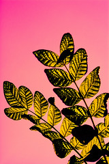 Golden Pink (talpazfridman) Tags: talpazfridman israel nikon print prints poster posters art fineart wallart decor homedecor interiordesign artificial botanic botany branch branches bright contrast day details effects elements gold growth isolated leaf leaves lines modern nature notreal pink postprocessing processed processing silhouette sky strange surreal tree unnatural unreal up upwards vegetation vertical weird yellow yellowish