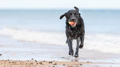Give us a wink! (Marcus Legg) Tags: marcuslegg max dog pet animal wetdog tennisball ball sea seaside beach waves sand bokeh outdoors canon eos