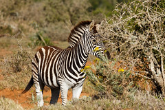 Zebra hiding behind a thorny bush (charissadescande) Tags: grass natural safari herd william nature standing look animal plains named wild herbivore way naturalist black burchells quagga white lines eating stripes background travel sky closeup explorer mammal time african south africa national after burchell pattern john subspecies wildlife southern striped outdoors british camera grassland park zebra green wilderness field