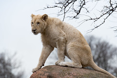 White Lion 129 (cypher40k Photography) Tags: bigcat color colour lion nikon toronto torontozoo whitelion zoo