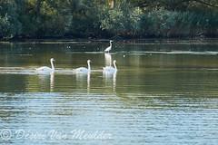 Knobbelzwanen op een rij - Mute Swans on a single row (desire van meulder) Tags: birds swans swan vogels zwaan zwanen muteswan knobbelzwaan