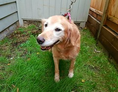 Gracie's old friend Cookie (walneylad) Tags: cookie goldenretriever dog canine pet oldgirl cookcook november fall autumn sadness passing rainbowbridge