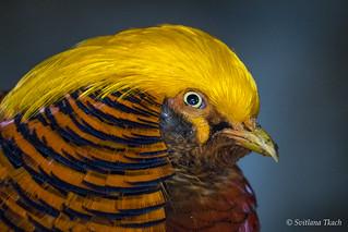 Chrysolophus pictus / Golden pheasant / Золотой фазан / Guldfasan