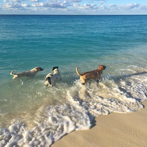 Where is the #beach ? #Bimini #potcakes have a tough #doglife . #sandy #malia #tobi #biminipotcake