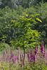 ckuchem-3691 (christine_kuchem) Tags: abholzung baum bienenweide blumen bäume fingerhut holzwirtschaft laubwald lichtung pflanzen spontanvegetation vegetation wald waldlichtung wildblumen wildpflanze wild