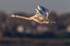Cygnus Olor in flight (Rivertay07 - thanks for over 4 million views) Tags: swan muteswan cygnusolor brightlingsea essex rivertay richardstead copyrightprotected