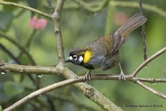White-eared Ground-Sparrow (Melozone leucotis) (Gmo_CR) Tags: melozoneleucotis whiteearedgroundsparrow pinzónorejiblanco cuatroojos payasito coronado patiodeagua costarica