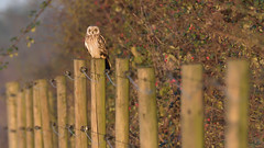 Short-eared Owl (image 1 of 3) (Full Moon Images) Tags: wildlife nature cambridgeshire fens east anglia bird prey birdofprey shorteared owl short eared fencepost fence post