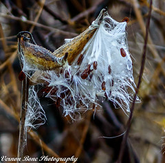Tangled Together (vernonbone) Tags: 2016 500mm d3200 eastpoint eastpointpark lens milkweed november ontario september closeup colors landscape nikon outside path sigma street stuff walkingtrail