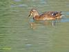 Hembra de Azulón (Anas platyrhynchos) (3) (eb3alfmiguel) Tags: aves acuaticas anade azulon hembra