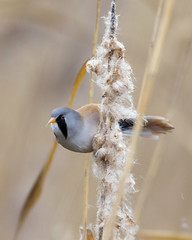 Bearded (Reedling) Tit (peterspencer49) Tags: peterspencer peterspencer49 bird beardedtit reedling dorset radipole uk