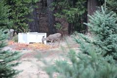 IMG_5531 (aaron_anderer) Tags: christmas 2016 harristreefarm harris tree farm pollock pines california deer forest pine fir wild grazing