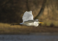 Photo of Great White Egret