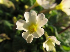 Shy primrose.       (series) (halina.reshetova) Tags: flowers sun plant flower green nature yellow spring blossom stones petal bloom april flowering blossoming blooming palepink bloomy