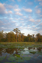 Cypress Trees (Scott Mohrman Photography) Tags: flowers trees sunset cloud lake tree water clouds sunrise scott landscape photography dawn photo louisiana lily martin cloudy photos dusk bayou swamp cypress pads waterscape mohrman