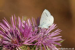 Holly Blue (Mallorca) (gcampbellphoto) Tags: nature butterfly spain wildlife may mallorca sacoma puntadenamer gcampbellphotocouk