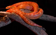 Ultramel Corn Snake This Ultramel Corn Snake is