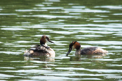 Famille grbe hupp (Podiceps cristatus) (Dicksy93) Tags: france bird nature water animal eau waterbird uccelli ave iledefrance chteau parc 91 vogel etang faune essonne podiceps cristatus grbe hupp morsangsurorge img6680 dicksy93