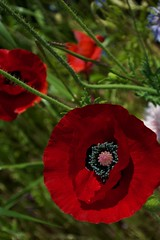 Poppy (houroumono) Tags: papaver  shirleypoppy