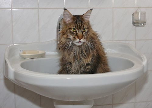 Maine Coon - My cat in the sink