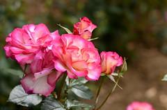 Rosas (eliseteshiraishi) Tags: pink flowers flores planta primavera rose japan fleurs garden japanese spring outdoor natureza flor rosa blumen paisagem hana nagoya  nippon japo fiori  rosas aichi nihon hoa   aichiken    2013 aoarlivre shonairyokuchikoen shonairyokuchipark nikond5100