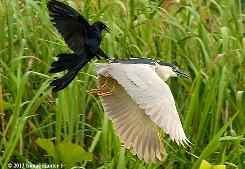 Great-tailed Grackle Attacking A Black-crowned Night Heron - Miller