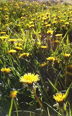 dandelions (Kelly Hyde) Tags: yellow dandelions colorfulworld cmwd cmwdyellow