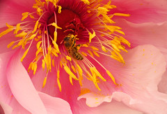 Peony Stamens (*Gitpix*) Tags: flowers flower color macro nature closeup germany deutschland petals spring blossom sony natur may blumen stamens bee mai stamen pollen blume makro dsseldorf blte bltenbltter nahaufnahme springtime farben biene frhling blten staubbltter raynoxdcr150 staubblatt bltenstempel flowerpistil sonynex7 sonysel55210