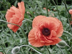 poppies 070 (cellocarrots) Tags: poppies