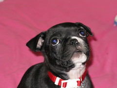 Little Dolly looking up (krisjaus) Tags: dogs puppy bostonterrier puppies buddy smalldogs newpuppy bostonterriers babydogs krisjaus danielleeberhart