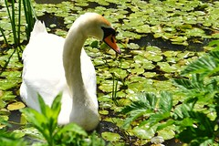 Mute Swan (alyrees) Tags: life city uk summer england plants sun white west green nature water leaves weather animal river neck bristol photography photo leaf swan pond nikon long lily natural bright farm south beak reserve dslr creature mute pads eastwood d3100