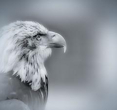 Eagle Eye (memories-in-motion) Tags: eye nature square eagle pentax adler k5 eagleeye adlerauge da560mm prfole