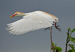 Cattle Egret (Birdwatcher 1406(Bill Eaton)) Tags: ngc birdsinflight floridawildlife breedingplumage cattleegrets
