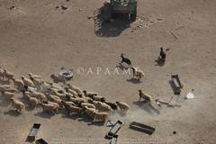 Mafraq area sheep (APAAME) Tags: flight2 flying2006 digitalcamera aerialarchaeology aerialphotography middleeast airphoto archaeology ancienthistory