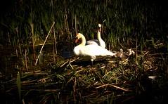 (Dorian Stretton) Tags: nature birds swans cygnets