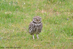 LittleOwl_16062013_3a (Kim Wall Photography (Purplesun2001)) Tags: somerset littleowl nyland kimwallphotography
