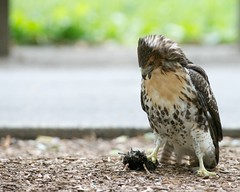 Hey, I Caught It! (mausgabe) Tags: nyc hawk centralpark juvenile redtail nikond800 tc20eiii 300mmf28gvrii