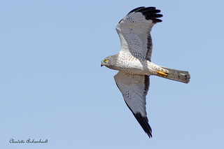 Busard Saint-Martin, Northern Harrier