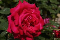 madame la Rose (Elyane11) Tags: fleur rose rouge jardin été