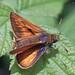 Ochlodes sylvanus ♂ (Esper, 1777)